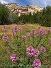 Rocky Mt beeplant, Josie's cabin, DINO UT (4)