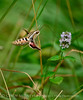 White-lined sphinx moth, Hyles lineata, on mint, DINO UT (3)