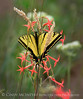 Two-tailed Swallowtail, Papilio multicaudata, DINO CO (2)