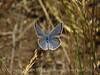 Lupine-Boisduval's Blue, Plebejus icaroides DINO CO (6)