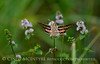 White-lined sphinx moth, Hyles lineata, on mint, DINO UT (7)