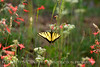 Two-tailed Swallowtail, Papilio multicaudata, DINO CO (10)