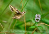 White-lined sphinx moth, Hyles lineata, on mint, DINO UT (4)