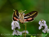 White-lined sphinx moth, Hyles lineata, on mint, DINO UT (9)