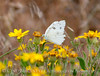 Checkered White, Pontia protodice, DINO CO