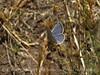 Lupine-Boisduval's Blue, Plebejus icaroides DINO CO (1)