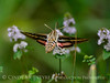 White-lined sphinx moth, Hyles lineata, on mint, DINO UT (6)