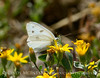 Checkered White, Pontia protodice, DINO CO (10)