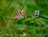 White-lined sphinx moth, Hyles lineata, on mint, DINO UT (2)
