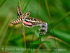 White-lined sphinx moth, Hyles lineata, on mint, DINO UT (5)