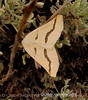 Eriplatymetra coloradaria moth, DINO CO