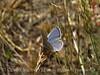 Lupine-Boisduval's Blue, Plebejus icaroides DINO CO (3)