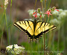 Two-tailed Swallowtail, Papilio multicaudata, DINO CO (13)