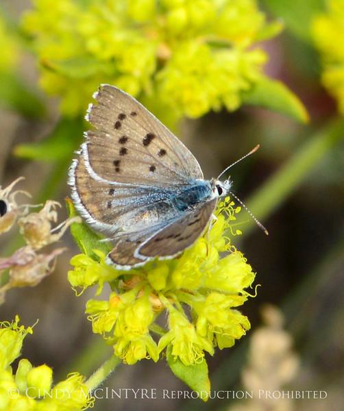 Blue Copper female, Lycaena heteronea, DINO CO (1)