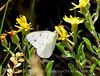 Checkered White, Pontia protodice, DINO CO (3)