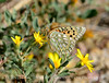 Callippe Fritillary, Sepeyeria callippe, DINO CO (1)