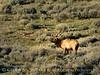 Bull elk, DINO UT