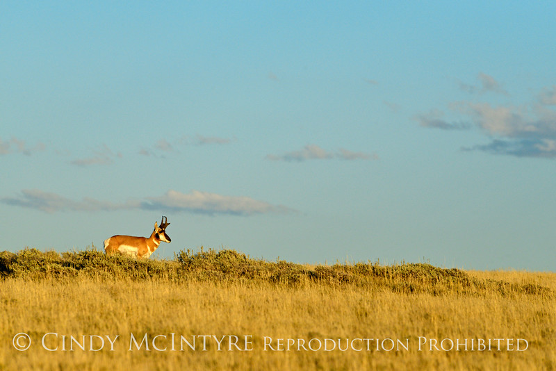 Male pronghorn, Canyon Overlook, DINO CO (9)