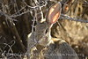 Desert cottontail gnawing on greasewood, UT (1)