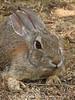 Desert Cottontail crouching, DINO CO (1)