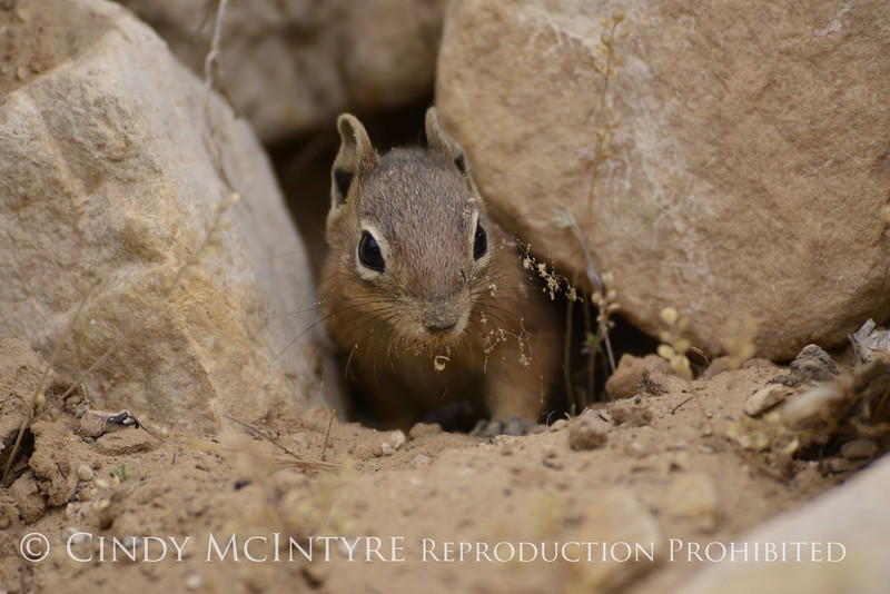 Golden-mantled ground squirrel in hiding, DINO CO (4)