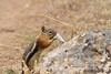 Golden-manteld ground squirrel eating snakeskin, DINO CO (1)