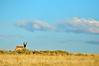Male pronghorn, Canyon Overlook, DINO CO (1)