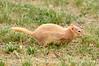 Leucistic golden-mantled ground squirrel, DINO CO (7)