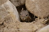 Golden-mantled ground squirrel in hiding, DINO CO (2)