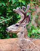 Mule deer buck, DINO CO (2)