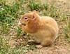 Leucistic golden-mantled ground squirrel, DINO CO (1)
