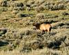 Bull elk, DINO UT (2)