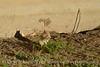 Leucistic golden-mantled ground squirrel, DINO CO (11)