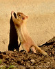 Leucistic golden-mantled ground squirrel, DINO CO (6)
