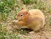 Leucistic golden-mantled ground squirrel, DINO CO (2)