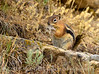 Golden-manteld ground squirrel eating snakeskin, DINO CO (4)