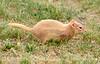 Leucistic golden-mantled ground squirrel, DINO CO (3)