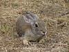 Desert Cottontail crouching, DINO CO (2)