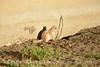Leucistic golden-mantled ground squirrel, DINO CO (8)