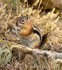 Golden-mantled ground squirrel eating snakeskin, DINO CO (2)