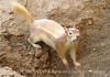 Leucistic golden mantled ground squirrel DINO