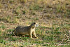 White-tailed prairie dog, DINO CO (2)
