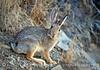 Desert cottontail, Utah (2)