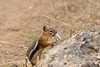 Golden-manteld ground squirrel eating snakeskin, DINO CO (2)