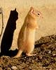 Leucistic golden-mantled ground squirrel, DINO CO (5)