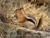 Golden-manteld ground squirrel eating snakeskin, DINO CO (5)
