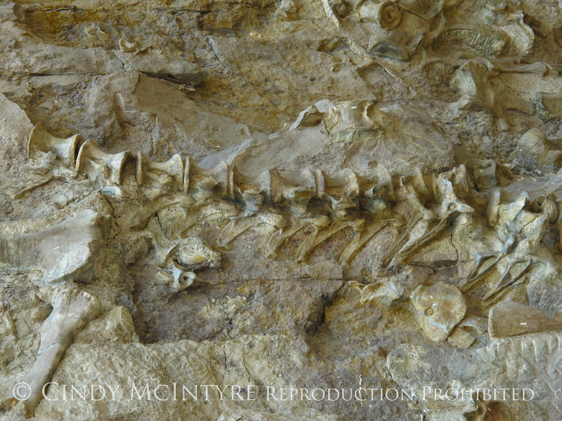 Quarry fossils, DINO UT (61)
