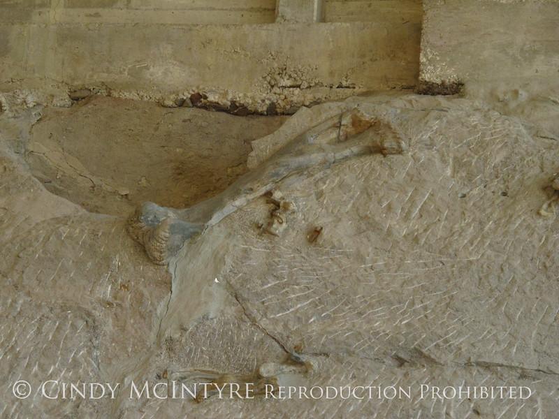 Quarry fossils, DINO UT (11)