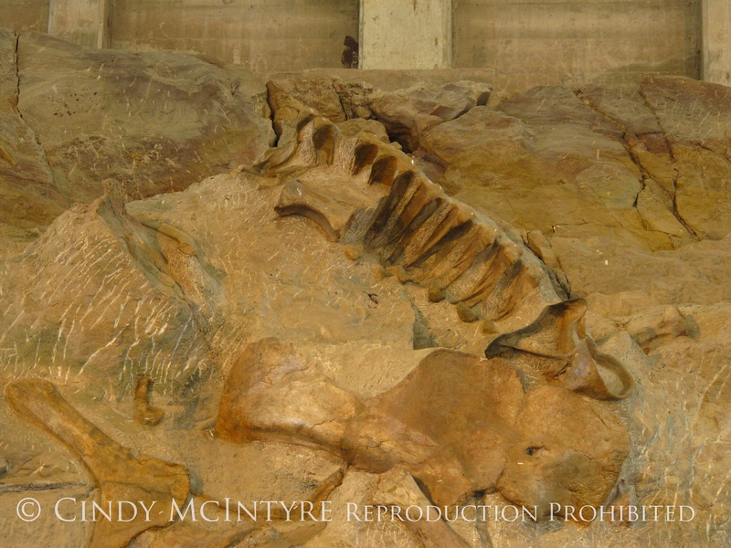 Quarry fossils, DINO UT (38)