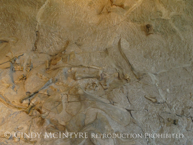 Quarry fossils, DINO UT (27)